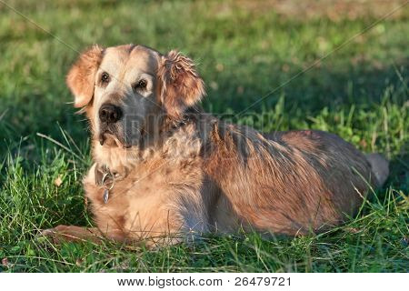 Portrait dog - golden retriever