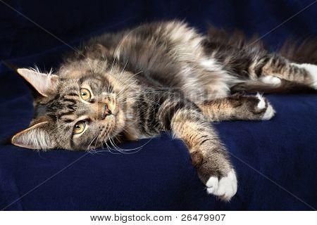 Gato de Maine multicolor sobre fondo azul