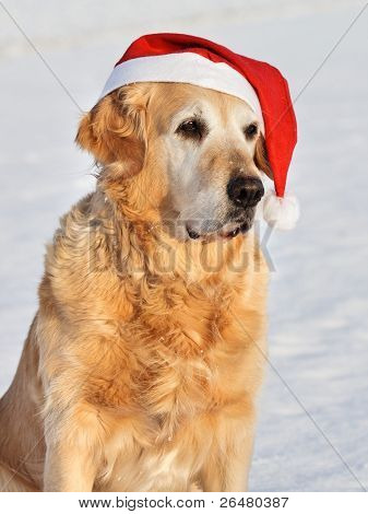 Dog - Golden Retriever with Santa Claus hat