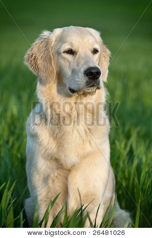 portrait of a beautiful young dog - golden retriever
