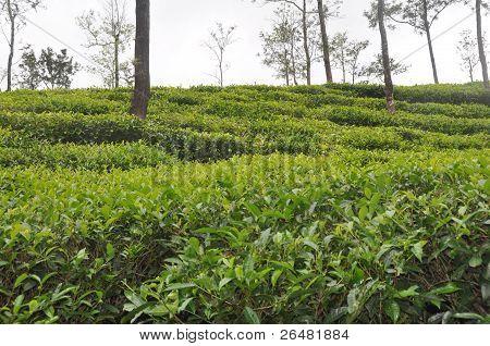 Tea cultivation
