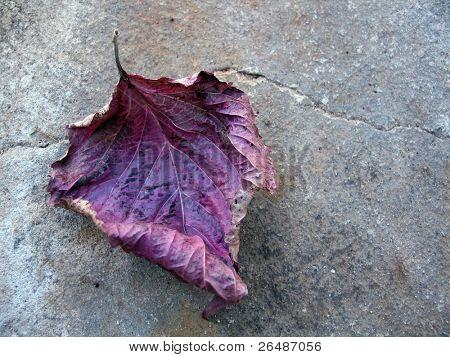 Hoja otoñal caída púrpura