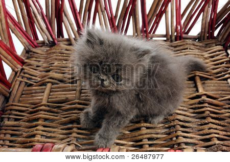 Detail of young persian cat inside a basket
