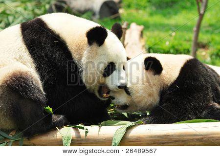 panda playing