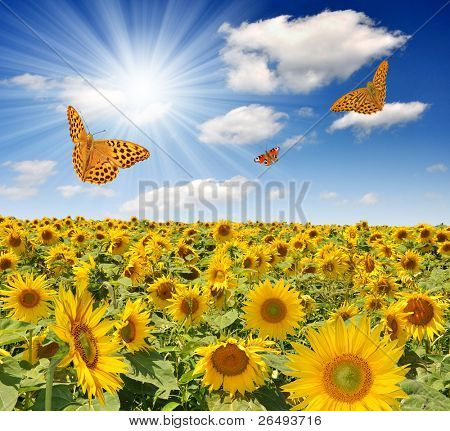 Summer sun over the sunflower field with butterflies