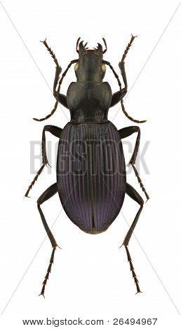 Laemostenus Punctatus