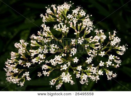 The Valerian plant, a calming natural drug. Modern day equivalent is the drug Valium.
