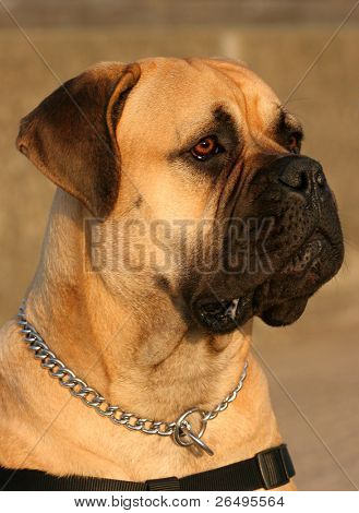 The profile of a Bull Mastiff dog.
