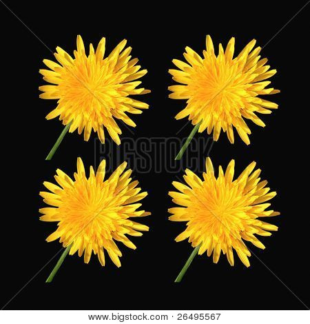 Four dandelions on black background