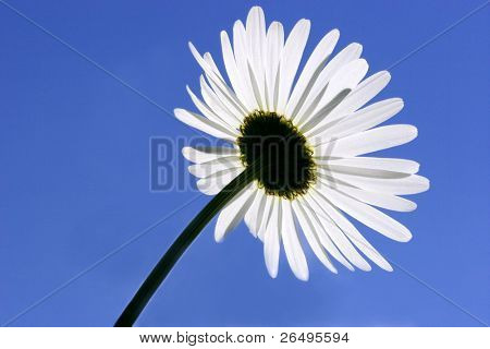 A rear view of the petals of aa ox eye daisy flower on a clear blue sky blue day.
