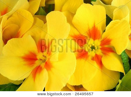 Yellow and red primrose flowers in spring.