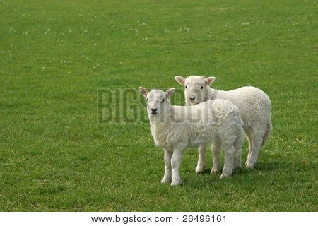 Two white lambs standing together in a field in spring.