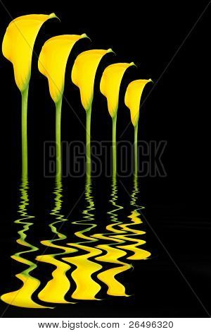 Abstract design of four yellow arum lily flowers with reflection over rippled water, against black  background.