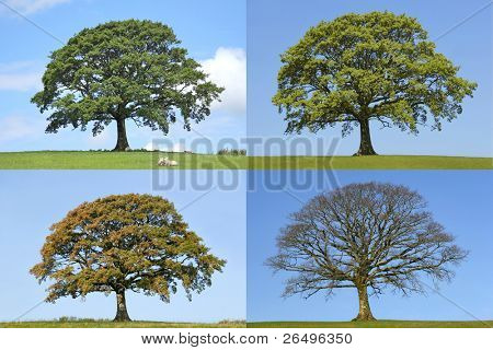 Oak tree in the four seasons of spring, summer, fall and winter in rural countryside all set against a blue sky.
