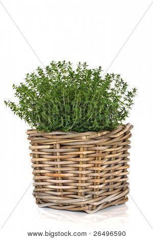 Thyme herb plant in a rustic woven wicker basket isolated over white background. Thymus.