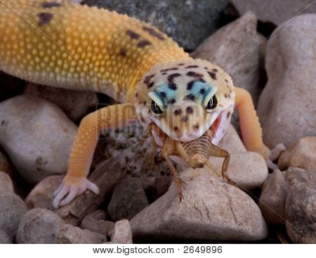 Leopard Gecko Eating Cricket Stock Photo Amp Stock Images