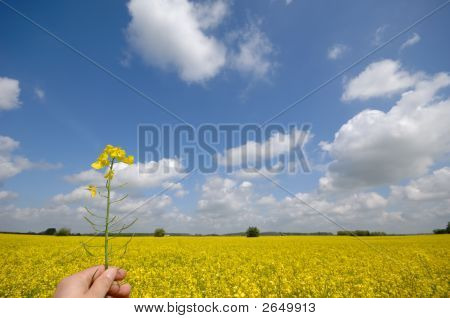 Rape Flower In Hand