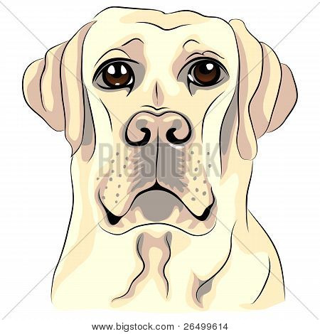 Vector Color Sketch perro raza blanca Labrador Retrievers Closeup