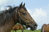 stock photo of horse plowing  - Thoroughbred horse series - JPG