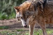 Portrait Of Aged Gray Wolf  With Pink Spots On The Nose. Furry Predator Timber Or Western Wolf (cani poster