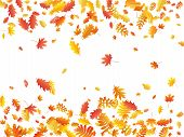 Oak, Maple, Wild Ash Rowan Leaves Vector, Autumn Foliage On White Background. Red Orange Gold Ash An poster