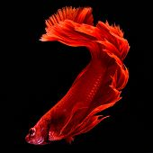 Red Betta Siamese Fighting Fish. Fins And Tail Like Long Skirts, Half Moon Tail, Perfect Fish Elegan poster