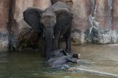 picture of wallow  - A Mother elephant attending to its calf who is wallowing in the water to cool down - JPG