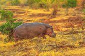 Cape Hippopotamus Or South African Hippopotamus Walking In Natural Habitat, Kruger National Park, So poster