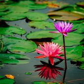 Beautiful Pink Lotus, Pink Water Lily With Reflection In A Pond. poster