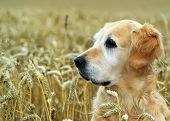 picture of golden retriever puppy  - golden retriever in field wheat - JPG
