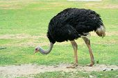 image of ostrich plumage  - A wild ostrich on savanna - JPG