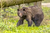 European Brown Bear ((ursus Arctos) In Forest Habitat. This Is The Most Widely Distributed Bear And  poster