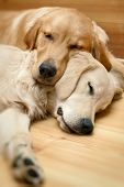 picture of cute dog  - View of two dogs lying  - JPG