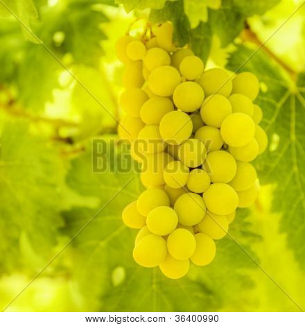 Branch of ripe white grape with green leaves, fresh juicy fruits, healthy eating concept, organic food, natural frutti background, winery industry, vineyard garden, harvest season grapes