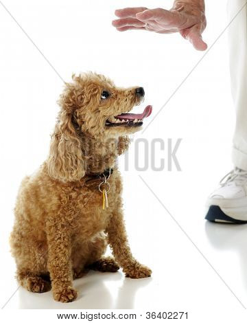 A toy apricot poodle looking at an elderly man's hand as she's ordered to stay.  On a white background.