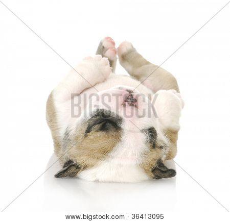 cachorro boca abajo - cute inglés bulldog cachorro upside down - 3 semanas de edad