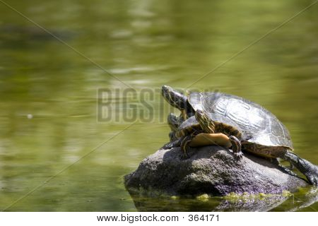 Turtles Sunbathing On A Rock