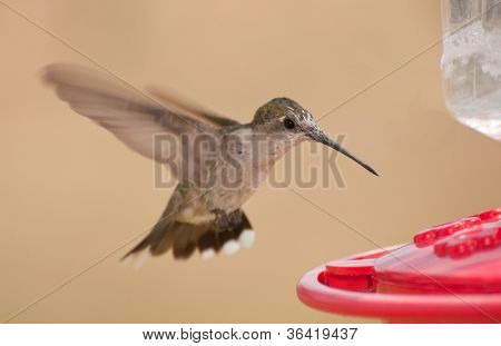 Young Ruby-throated Hummingbird hovering at feeder