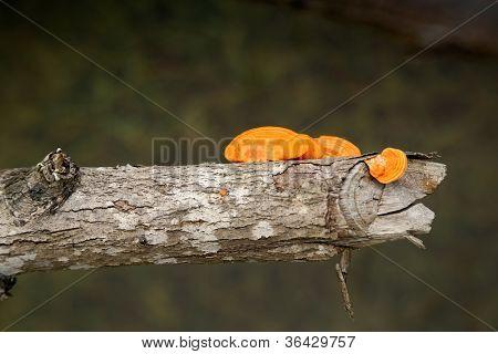 orange fungi mushroom thriving on a tree trunk