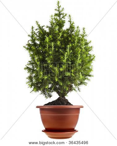 juniper Conifer Sapling Tree in the pot isolated on white.