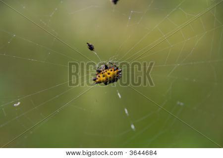 Rare Jungle Spider