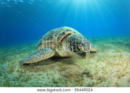 Green Turtle grazing on sea grass at Abu Dabbab, Marsa Alam, Egypt