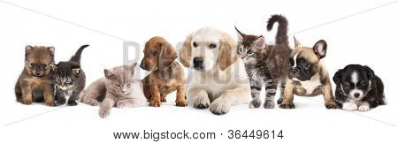 puppy and kitten , Group of cats and dogs in front of white background
