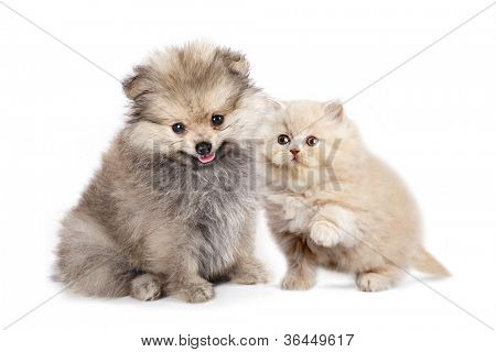 Friends - small Puppy spitz and kitten  persian