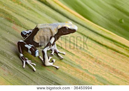 frog in tropical Amazon rainforest, poison dart frog, exotic animal of rain forest in French Guyana,Suriname, and Brazil