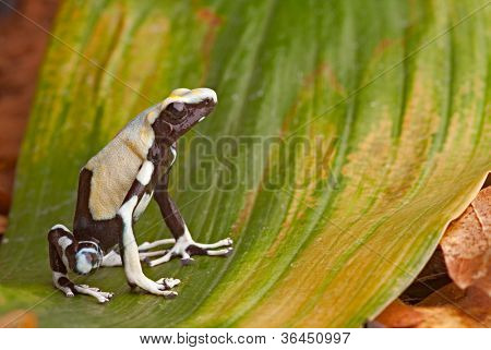 frog in tropical Amazon rainforest, poison dart frog, exotic animal of rain forest in French Guyana,Suriname, and Brazil, Yellow back Dendrobates tinctorius