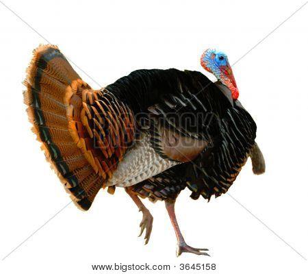 American Turkey Strutting