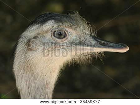 ostrich portrait.