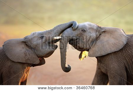 Elephants touching each other gently (greeting) - Addo Elephant National Park