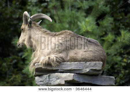 Majestic Ram